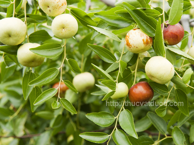 Close-up of Chico variety, Chinese jujubes fruit growing on trees in orchard. Common name for the fruit is Chinese jujubes or red dates, scientific name Ziziphus jujuba Mill. Chinese jujubes can be eaten fresh, dried, candied or used in baking and cooking.